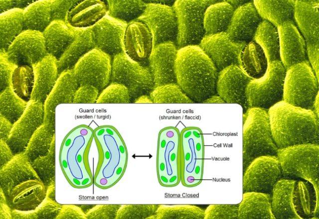 stomata and chloroblasts