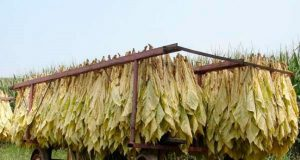 Tobacco post-harvest drying