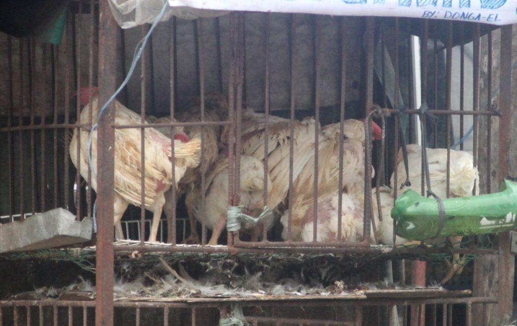Live chickens Banguet market