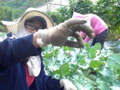 Organic vegetable farming Benguet