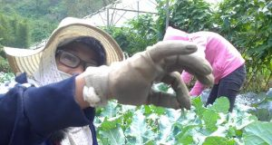 Organic vegetable farming Benguet