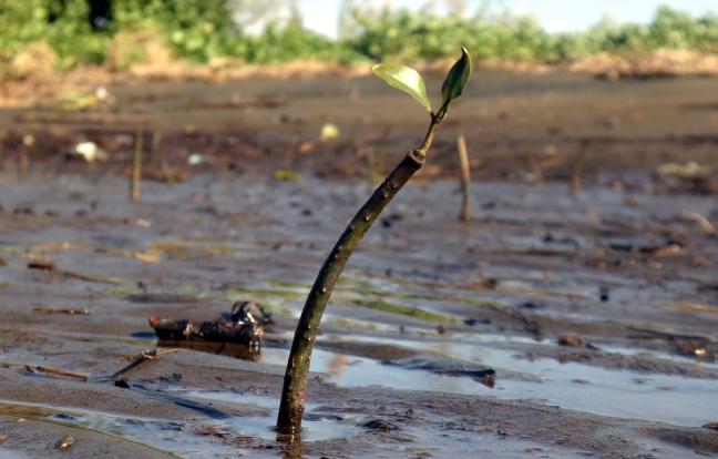 Lumbocan lone mangrove seedling Butuan