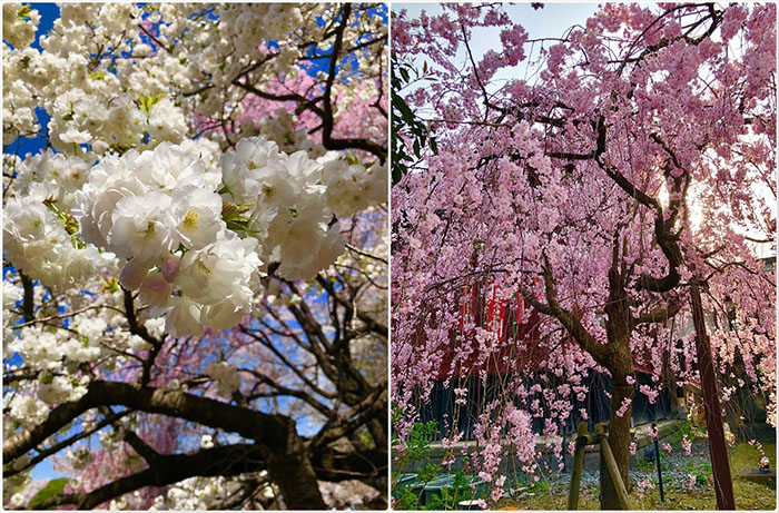 Philippines Has Cherry Blossoms As Beautiful As Japan S