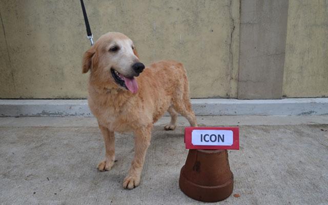 Golden Retriever Retired Service Dogs
