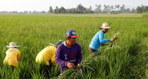 Farmers remove weeds growing alongside with ride stalks at a ricefield in Naujan, Oriental Mindoro