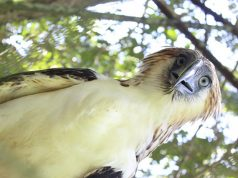 Philippine Eagle Ariela Interaksyon