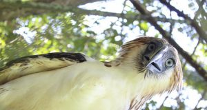 Philippine Eagle Ariela Interaksyon