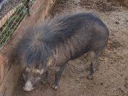 Philippine warty pig by Wikimedia lsj Interaksyon