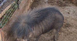 Philippine warty pig by Wikimedia lsj Interaksyon