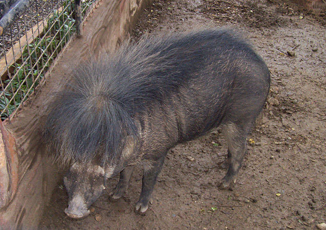 Help save threatened, endangered Philippine pigs in 'Year of the Pig'