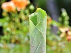 Banana Leaf Interaksyon