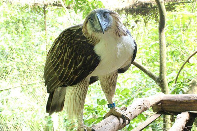 Sambisig the eagle