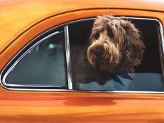 Dog in a car