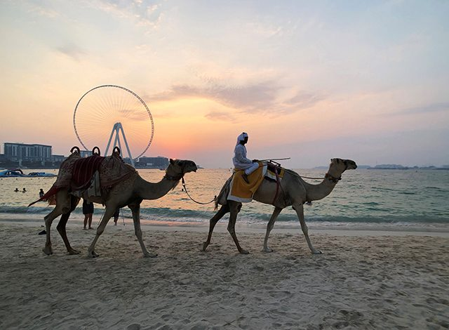 Camels walk on the beach at Jumeirah Beach Residence in Dubai