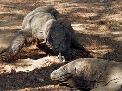 Komodo dragons walk at the Komodo National Park in Indonesia's Komodo island