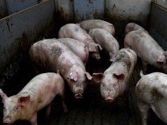 Hogs in the farm
