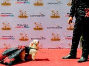 A pet owner walks the red carpet with his Poodle puppy at an event that celebrates World Animal Day in Quezon City