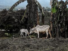 Cows partly covered by ashes eat grass in a land nearby the erupting Taal Volcano in Talisay