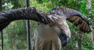 Pag-asa the eagle