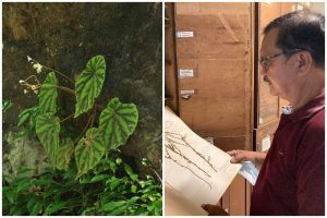 In Catanduanes, a critically endangered plant was named after curator